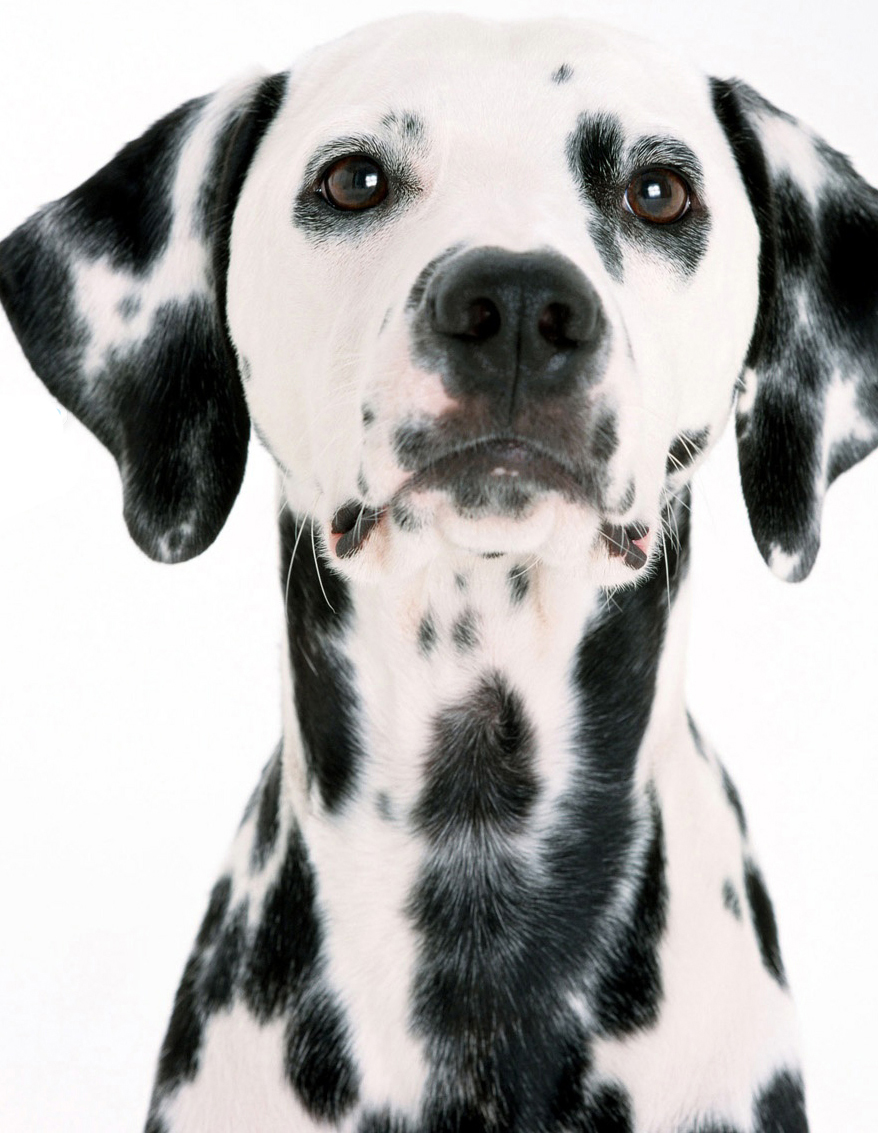 Dalmatian Puppies For ...